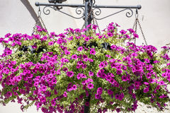 Purple hanging petunia flower baskets Royalty Free Stock Images