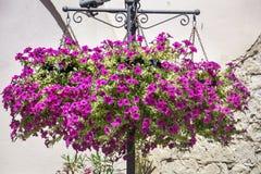 Purple hanging petunia flower baskets Stock Photos
