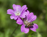 Purple Hardy Geranium & Honey Bee. This is a purple hardy geranium with lovely veining, and a honey bee stock images