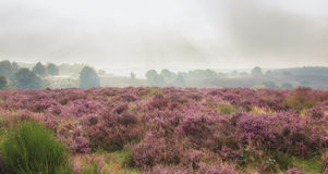 The purple haze 1. Autumn, foggy morning in the national park the Veluwe, Netherlands Stock Photos
