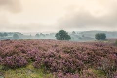 The purple haze 4. Autumn, foggy morning in the national park the Veluwe, Netherlands Stock Photo