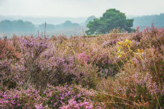 The purple haze 5. Autumn, foggy morning in the national park the Veluwe, Netherlands Stock Photography