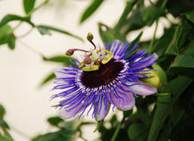Purple Haze Passiflora Stock Photography