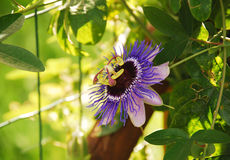 Purple Haze Passiflora Stock Image