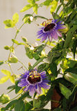 Purple Haze Passifloras. Two Purple Haze Passiflora flower, an evergreen tendril climbing vine Royalty Free Stock Image