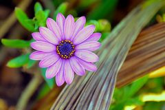 Purple hazed flower royalty free stock images