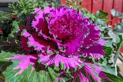Purple head of ornamental kale. Close up view to  purple head of ornamental kale in a flower pot Royalty Free Stock Photo