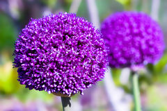 Purple headed allium. Allium flower is perennial and round headed Stock Image