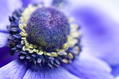 Purple heart of an anemone Royalty Free Stock Image