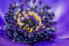 Purple heart of a flower Stock Images