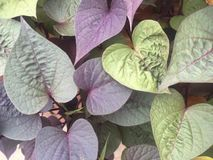 Purple heart leaves Stock Photo