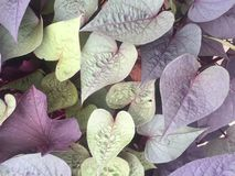 Purple heart leaves Royalty Free Stock Photo