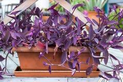 Purple heart plant. In flowerpot Royalty Free Stock Photo