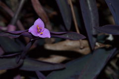 Purple Heart. A small purple flower with only three small petals. A species of spiderwort commonly known as wandering Jew. The common names of this flower are Stock Photography