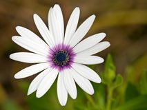 Purple hearted white daisy Stock Photos