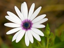 Purple hearted white daisy Stock Photos
