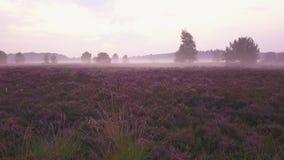 Purple heath intro. Beautiful purple heath during sunrise with fog stock video footage