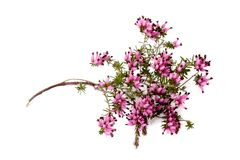 Purple heather. Branch isolated on whitebackground Royalty Free Stock Photography