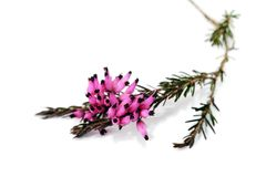 Purple heather Royalty Free Stock Image