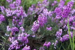 The Purple heather as a background or card Stock Photo