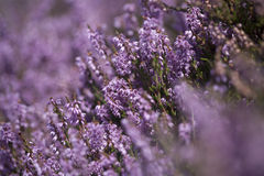 Purple Heather Background Royalty Free Stock Images