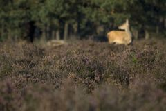 Purple heather in the background a female deer Stock Images