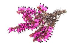 Purple heather. Branch isolated on white background Royalty Free Stock Photos