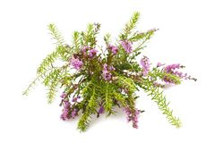 Purple heather. Branch  on white background Royalty Free Stock Photography