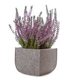 Purple Heather (Calluna vulgaris) flowers Stock Photos