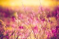 Purple heather. Close up of purple heather Stock Photo
