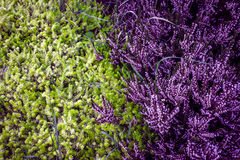 Purple heather. With contrast green pine Royalty Free Stock Image