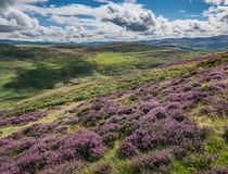 Purple Heather Covered Hillside, Black Meldon Hill. Purple heather is in full flower in late summer on Black Meldon Hill, in the Scottish Borders region Stock Photos