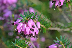 Purple heather erica carnea. Purple heather macro - spring blooming Stock Images