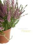 Purple Heather flowers Royalty Free Stock Image