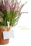 Purple Heather flowers Stock Images