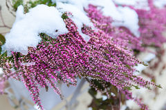 Purple heather flowers covered with snow Royalty Free Stock Photos