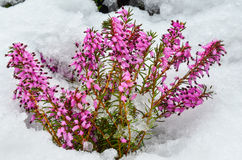 Purple Heather flowers Stock Photography