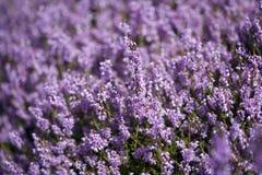 Purple Heather Stock Photography