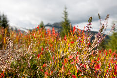 Purple heather growing in the mountains Stock Photos