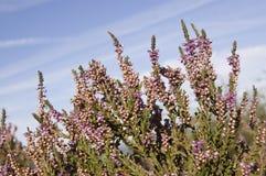 Purple heather on heathland. Purple heather, latin name Calluna vulgaris, blooming on heathland in Surrey Royalty Free Stock Photo