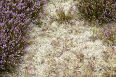 Purple heather and moss for backgrounds. Closeup of purple heather and moss for backgrounds royalty free stock photography