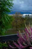 Purple heather on pot. Heather flowers on window. Concept of the countryside view from window, blurry background. Purple heather on pot. Heather flowers on royalty free stock photos