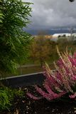 Purple heather on pot. Heather flowers on window. Concept of the countryside view from window, blurry background. Purple heather on pot. Heather flowers on stock photos
