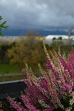 Purple heather on pot. Heather flowers on window. Concept of the countryside view from window, blurry background. Purple heather on pot. Heather flowers on stock photography