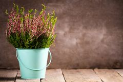 Purple heather. In blue turquoise flower pail on gray wooden background stock images