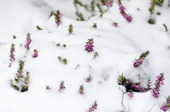 Purple heather in the snow Stock Images
