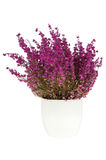 Purple heather in the white pot Royalty Free Stock Photo
