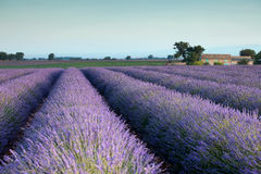 Purple heaven. Farm and rows of scented flowers in the lavender fields of the French Provence near Valensole Royalty Free Stock Photography