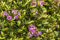 Purple hebe plant flowers and leaves Royalty Free Stock Image