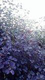 Purple hedge spider web Stock Image